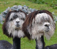 Fabulous-Alpaca-Haircut